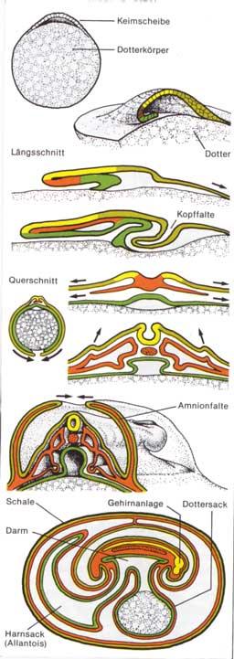 Vergleichende Embryogenese