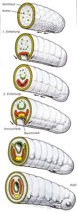 Embryonalentwicklung Wirbeltiere