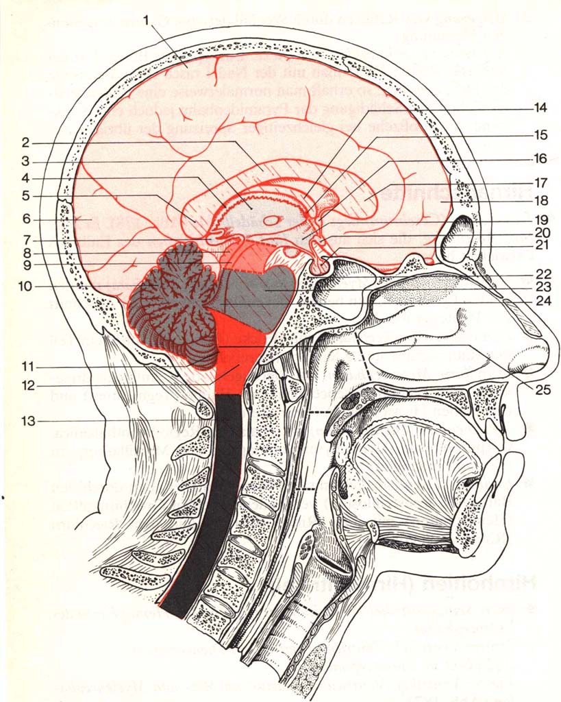 Gehirnabschnitte