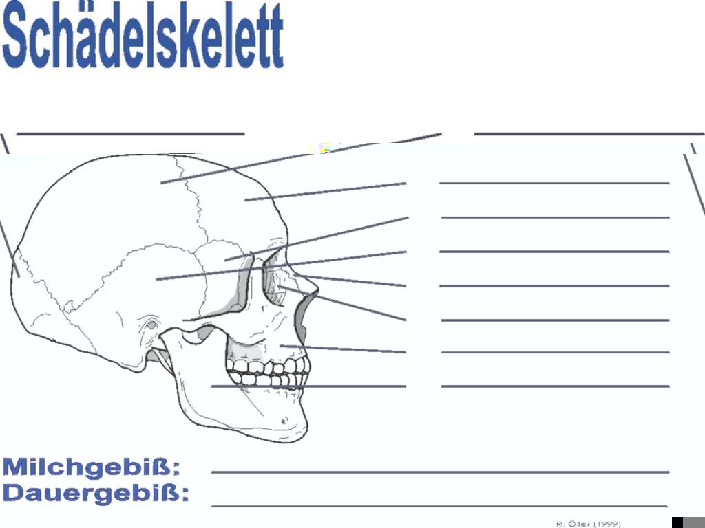 Großzügig Schädelanatomie Arbeitsblatt Bilder - Menschliche Anatomie ...