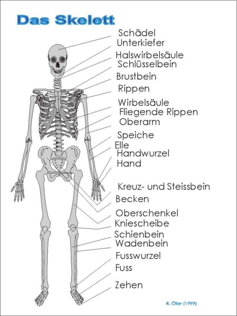 Berühmt Das Skelett Galerie - Anatomie Und Physiologie Knochen ...