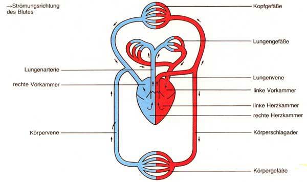 In die lunge gepumpt in der lunge erfolgt der gasaustausch