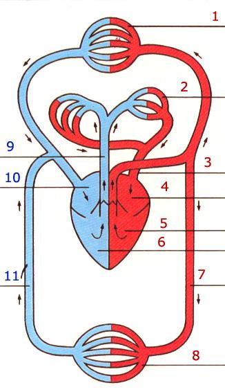 Atmung und Kreislauf