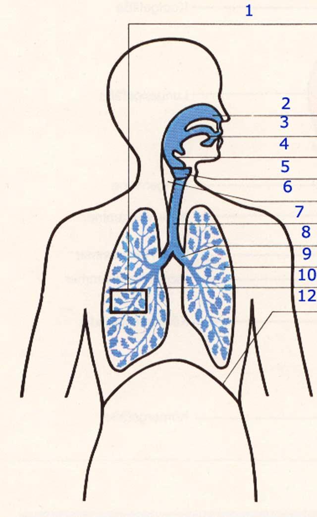Arbeitsblatt Lunge Und Atemwege : Atmung und kreislauf