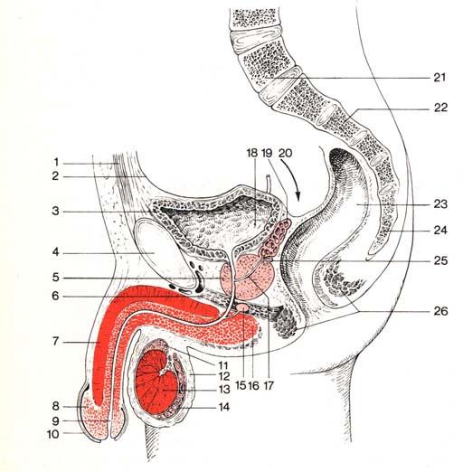 Und weibliche gleichzeitig männliche geschlechtsorgane Männliche geschlechtszelle