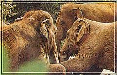 afrikanischer wildhund feinde