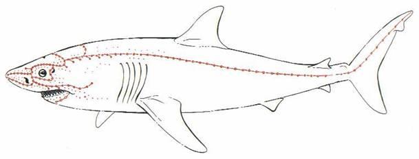 Schutz vor Haiangriffen: Elektronisches Feld soll Haie vor